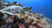 Hawksbill Turtle Feeding On Coral Reef Wall, Starts Swimming Away, Schools Of Fishes In Background, Vaavu Atoll, The Maldives