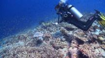 Diver Looking At A Hawksbill Turtle On Coral Garden With Schools Of Pale-Tail Chromis, Vaavu Atoll, The Maldives