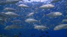 School Of Bigeye Trevallies In The Shallows, Swimming Around, Cu, Vaavu Atoll, The Maldives