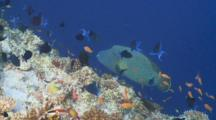 Napoleon Wrasse Surrounded By Schools Of Scalefin Anthias And Blue Triggerfish At Reef Edge, Profile, Vaavu Atoll, The Maldives
