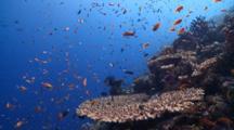 School Of Scalefin Anthias Along Reef Edge, Vaavu Atoll, The Maldives