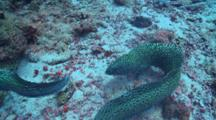 Pair Of Honeycomb Moray Eels Fighting, Vaavu Atoll, The Maldives