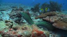 Honeycomb Moray Eel Free Swimming Over Reef Straight To Photographer, Vaavu Atoll, The Maldives