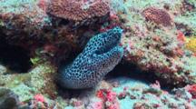 Honeycomb Moray Eel Free Peeking Out Of Crevice, Vaavu Atoll, The Maldives