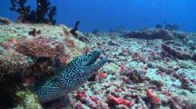 Honeycomb Moray Eel Peeking Out Of Crevice, Being Cleaned By Bluestreak Cleaner Wrasse, Vaavu Atoll, The Maldives