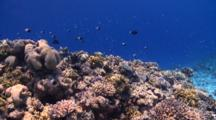 Corals With Schools Of Damselfish, Vaavu Atoll, The Maldives