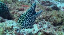 Blackspotted Moray Being Attack By False Bluestreak Cleaner Wrasse, Cu, Vaavu Atoll, The Maldives