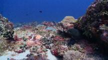 Giant Moray Eel Peeking Out Of Crevice, Vaavu Atoll, The Maldives