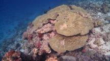 Large Porites Hard Coral Colony On Reef, Vaavu Atoll, The Maldives