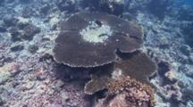 Bleaching Table Coral, South Ari Atoll, The Maldives