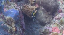 Juvenile Clown Triggerfish On Reef, South Ari Atoll, The Maldives