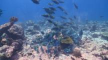 Schooling Greenthroat Parrotfish, Maamigili, South Ari Atoll, The Maldives