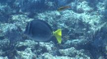 Yellow-Tailed Surgeonfish In School Of Cortez Rainbow Wrasse, La Paz, Sea Of Cortez, Mexico