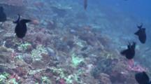 Black Durgon, Anthias, Other Tropical Fish Over Reef