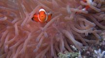 False Clown Anemonefish In Anemone