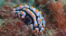 Sea Slug, Phyllidia Babai, On Coral