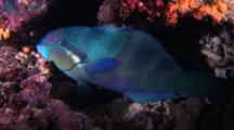 Yellow-Barred Parrotfish Resting On Coral
