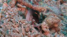 Yellowbarred Jawfish In Hole, The Visayas, The Philippines