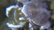 Porcelain Crabs Filter Feeding