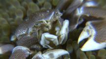 Porclain Crab In Anemone