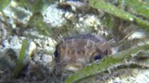 Orbicular Burrfish Swimming In Sea Grass
