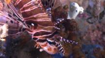 Pair Of Spotfin Lionfish, Profile, From Above, Malapascua, Philippines