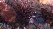 Spotfin Lionfish Displaying, Profile, Side View, Cu, Malapascua, Philippines