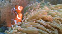 False Clown Anemonefish Sheltering In Magnificent Sea Anemone, Close Up, Malapascua, Philippines