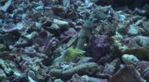 Yellow Shrimp, Malapascua, Philippines