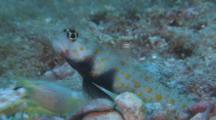 Spotted Shrimpgoby And Alpheid Shrimp, Profile, Malapascua, Philippines