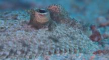 Leopard Flounder, Portrait, Ecu, Malapascua, Philippines