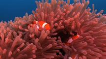 Clownfish In Sea Anemone, Cu Zoom In, Kapalai, Borneo
