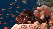 Leaf Scorpion Fish On Hard Coral