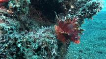 Dwarf Lionfish And Juvenile Scorpionfish Feeding, Cu, Zoom Out, Kungkungan Bay Resort (Kbr), Lembeh Strait, Sulawesi, Indonesia