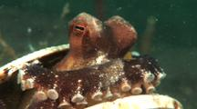 Veined Octopus Gets Inside Shell