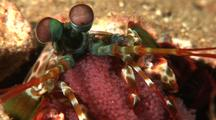 Peacock Mantis Shrimp With Eggs In Hole, Cu, Lembeh Strait, Sulawesi, Indonesia
