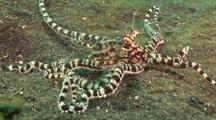 Mimic Octopus Moving Over Sand As Flounder, Kbr, Sulawesi, Indonesia