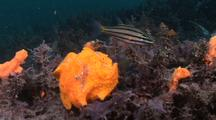 Painted Frogfish Ambushes Cardinal Fish