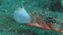 Twospot Lizardfish With Saddled Toby Pufferfish In Mouth, Move Round To Cu Profile, Kbr, Sulawesi, Indonesia