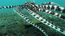 Mimic Octopus Moving Over Sand As Flounder, Swims Away, Inks