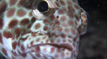 Longfin Grouper Eye, Cu, Kapalai, Borneo, Malaysia