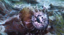 Eye Of Crocodilefish, Close Up, Kapalai And Sipadan, Borneo, Malaysia