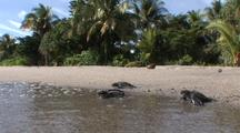 Leatherback Turtles Hatchlings Moving Over Beach To Sea, Lae, Papua New Guinea