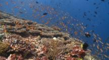 Diver And School Of Scalefin Anthias And Other Reef Fishes Over Table Corals, Baa Atoll, The Maldives