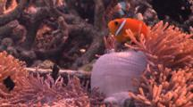 Blackfooted Anemonefish With Sea Anemone In Artificial Reef, Tourist Snorkelling In Background, Baa Atoll, The Maldives