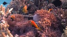 Blackfooted Anemonefish With Sea Anemone In Artificial Reef, Baa Atoll, The Maldives