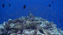 Travel Over Coral Reef, Schools Of Redtooth Triggerfish, Scalefin Anthias And Bluestreak Cleaner Wrasses To Black-Saddle Coral Grouper, Baa Atoll, The Maldives