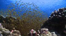 School Of Golden Sweepers With Cleaner Wrasses, Redmouth Grouper Swims From Behind School Of Sweepers, Baa Atoll, The Maldives