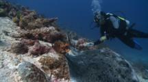 Diver Gets Close To Marble Ray, Baa Atoll, The Maldives