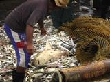 Trawler Fishing hauling in nets with bycatch